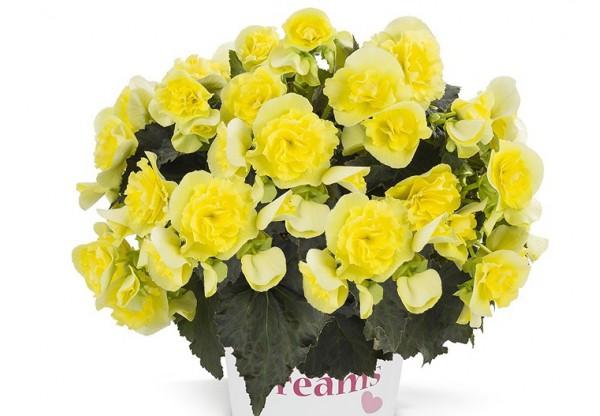 БЕГОНИЯ КЛУБНЕВАЯ амп. Solenia Yellow