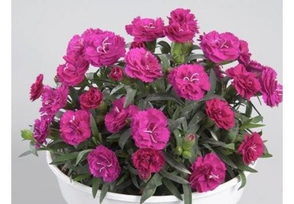 ГВОЗДИКА Roselly® Purple