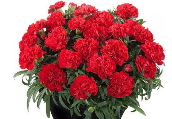 ГВОЗДИКА Roselly® Red