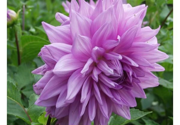"""Георгина изменчивая """"Figaro Violet"""""""