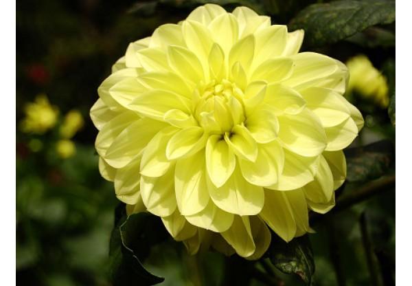 """Георгина изменчивая """"Figaro Yellow"""""""