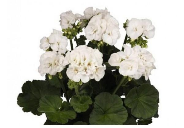 """Пеларгония зональная зеленолистная """"Toscana Smart Jenny white"""""""