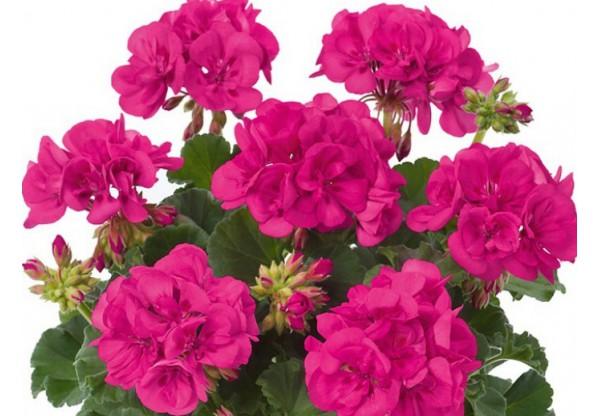 """Пеларгония зональная  """"Toscana Smart Laura  purple"""""""