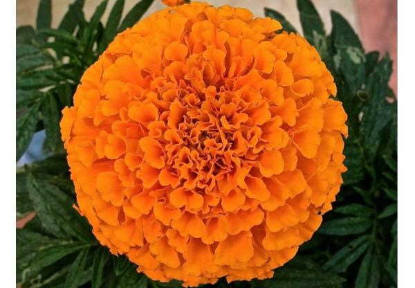 Тагетес erecta Taishan Orange African