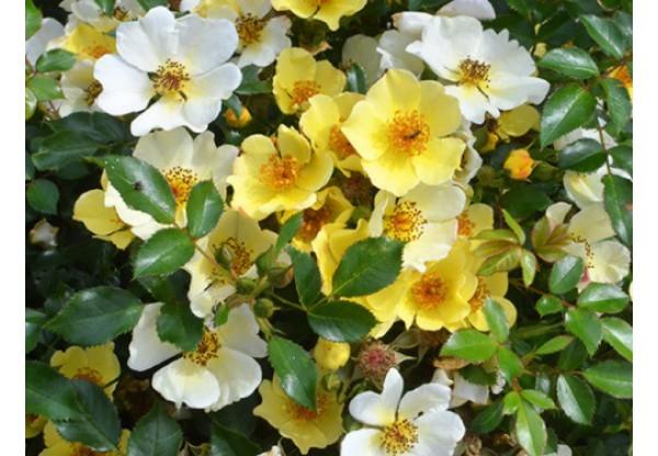 "Роза ""Bee Gold"""