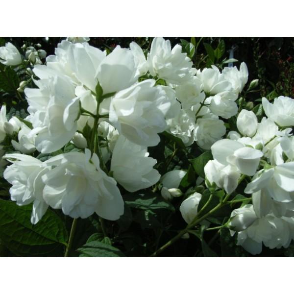 """Чубушник (жасмин) гибридный """"Bouquet Blanc"""""""