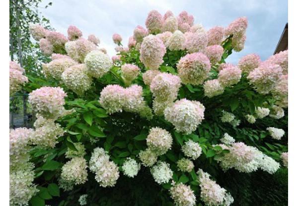 "Гортензия метельчатая ""Grandiflora"""