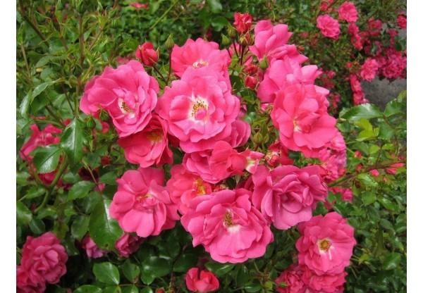 "Роза ""Pink Fire"""