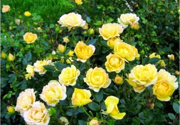 """Роза """"Yellow Fairy"""""""