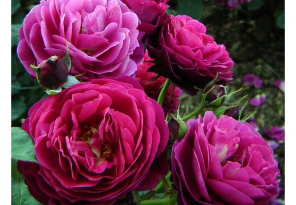 "Роза английская  ""Bicentenaire de Guillot"""