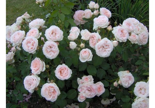 """Роза остина """"Claire Rose"""""""