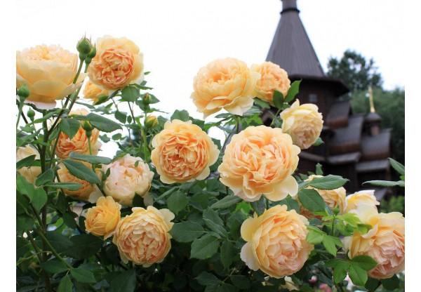 """Роза Остина """"Golden Celebration """""""