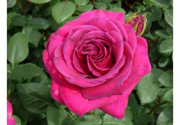 """Роза чайно-гибридная """"Divine"""""""