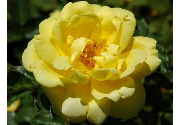 "Роза флорибунда ""Allgold"""