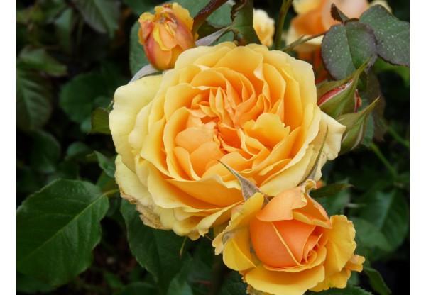 """Роза флорибунда """"Amber Queen"""""""
