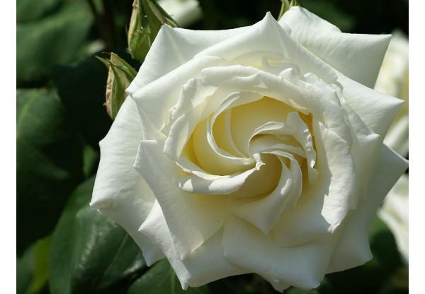"Роза флорибунда ""Bianca"""