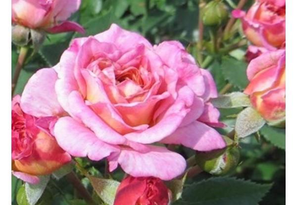 """Роза флорибунда """"Biddy"""""""