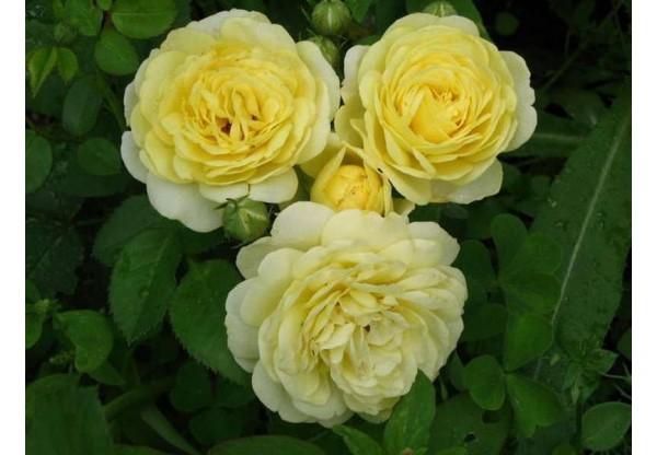 """Роза флорибунда """"Carte d`Or"""""""