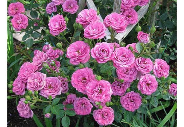 """Роза флорибунда """"Damson"""""""