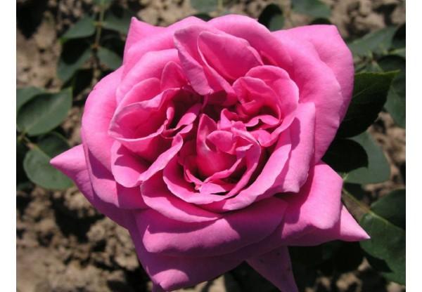 """Роза чайно-гибридная """"Eminence"""""""