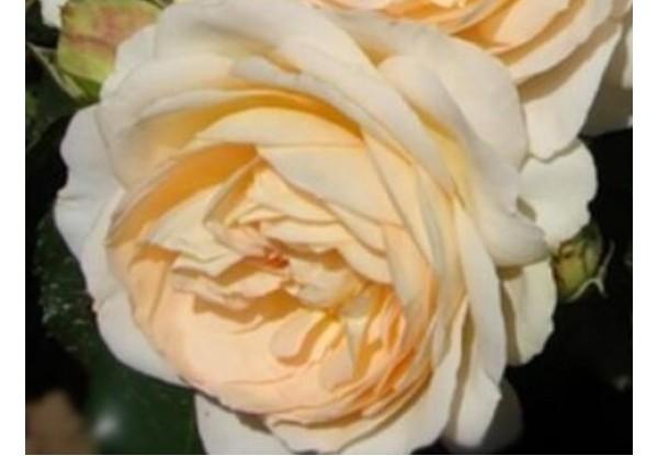 "Роза флорибунда ""Empress"""