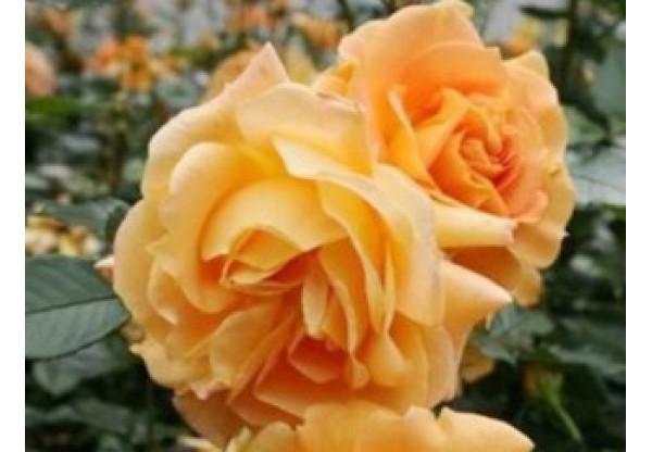 """Роза флорибунда """"Filgree"""""""