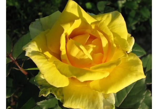 """Роза чайно-гибридная """"Golden Medallion"""""""