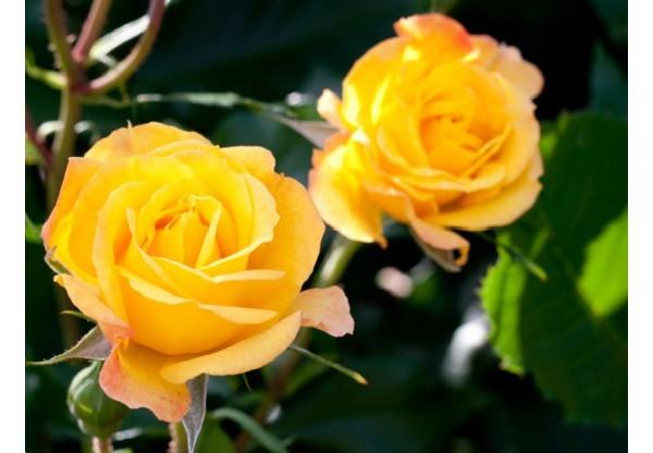 "Роза флорибунда ""Goldmarie"""
