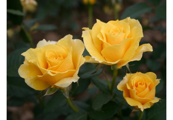 "Роза флорибунда ""Goldstar"""