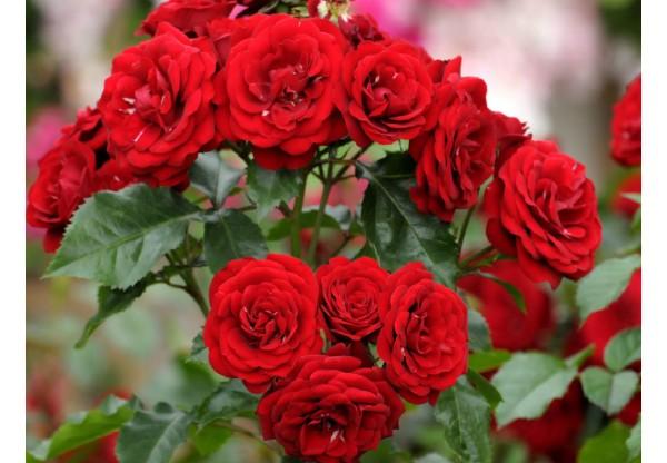 """Роза флорибунда """"Lavaglut"""""""