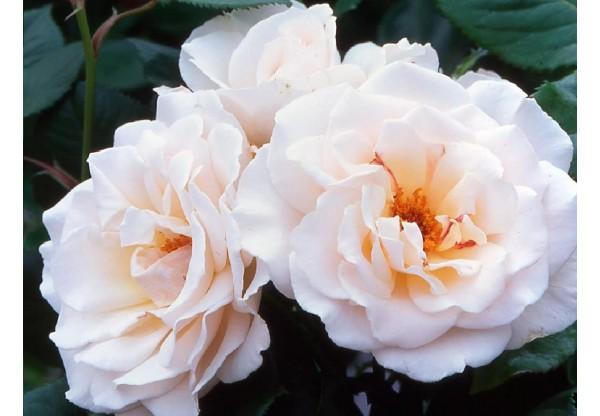 """Роза флорибунда """"Margaret Meril"""""""