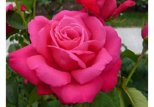 "Роза чайно-гибридная ""Maria Callas"""