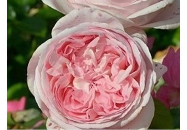 """Роза чайно-гибридная """"Prelude"""""""