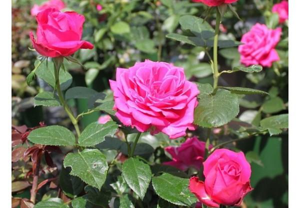 "Роза чайно-гибридная ""Purple Fragrance"""