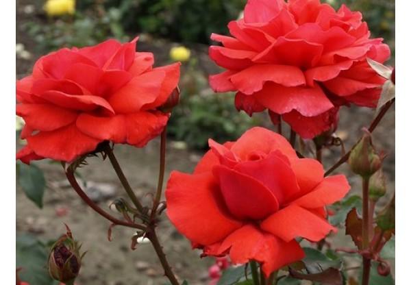 """Роза чайно-гибридная """"Red Incense"""""""