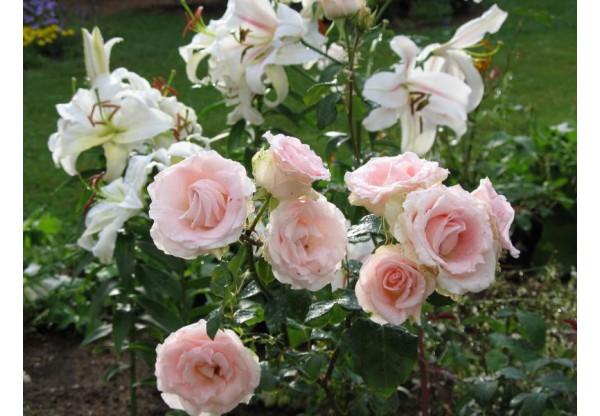 "Роза чайно-гибридная ""Vivaldi"""