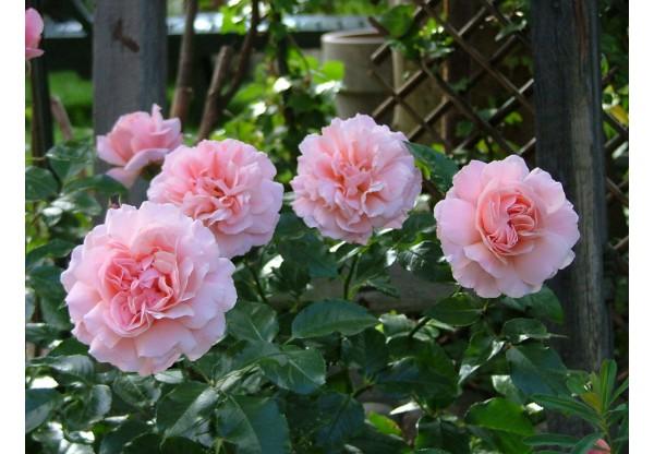 """Роза флорибунда """"Botticelli"""""""