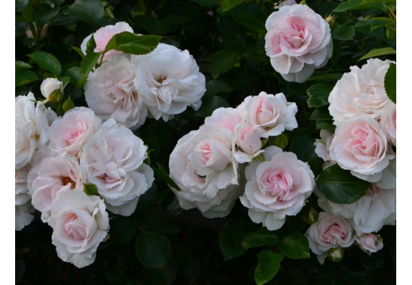 "Роза флорибунда  ""Aspirin Rose"""