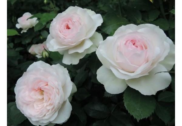 """Роза флорибунда """"Mild"""""""