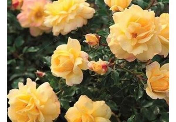 """Роза флорибунда """"Photon"""""""