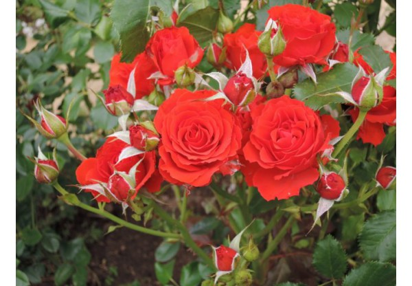 "Роза флорибунда ""Red River"""