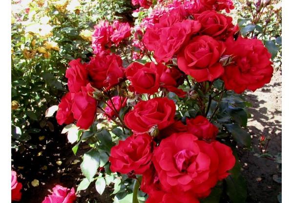 """Роза флорибунда """"Sachmo"""""""