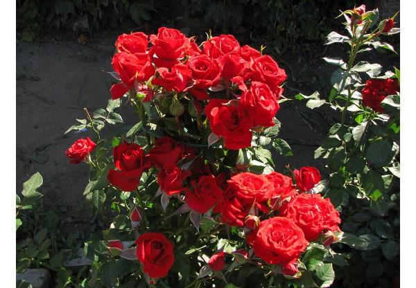 """Роза флорибунда """"Mirabel"""""""