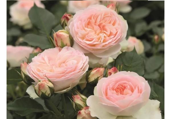 """Роза флорибунда """"Pastella"""""""