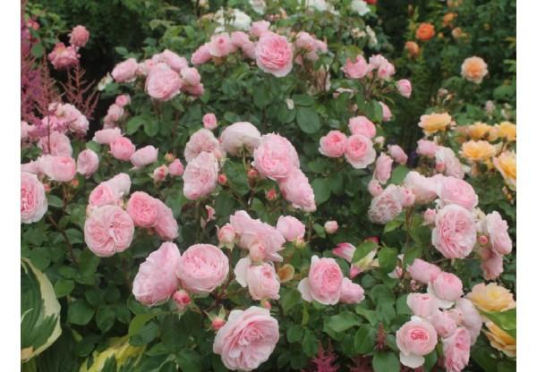 """Роза флорибунда """"Mariatheresia"""""""
