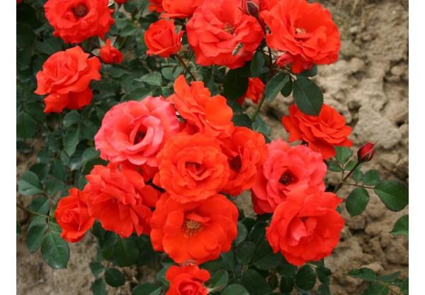 """Роза флорибунда """"Tchin-Tchin"""""""