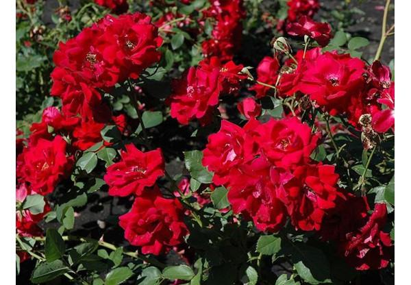 """Роза канадская парковая """"Champlain"""""""