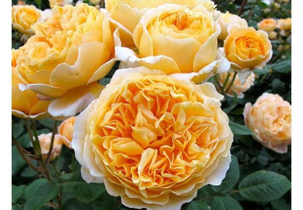 """Роза миниатюрная """"Beatrice"""""""