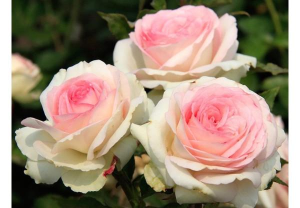 """Роза миниатюрная """"Bidermayer"""""""
