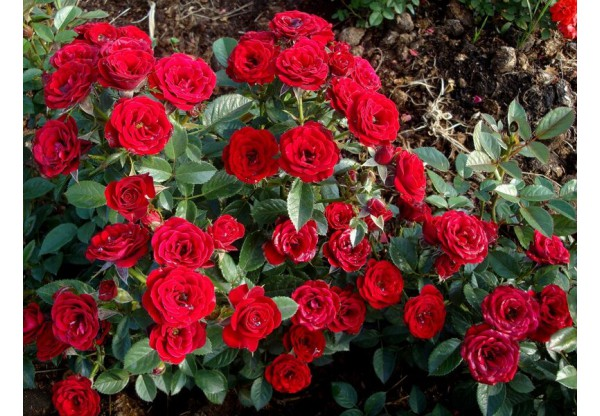 "Роза миниатюрная ""Majdi"""